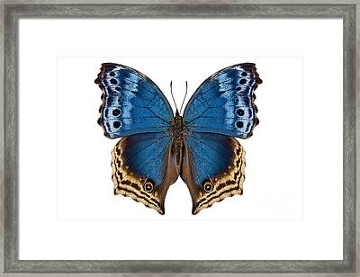 Butterfly Species Salamis Temora  Framed Print by Pablo Romero