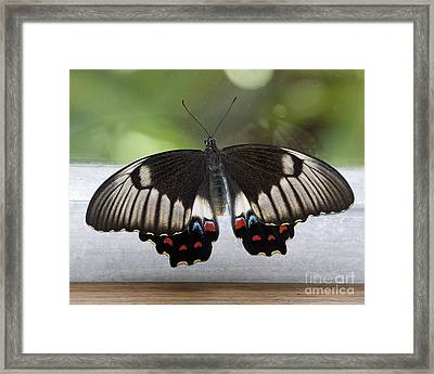 Butterfly Framed Print by Steven Ralser