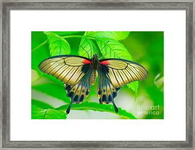 Butterfly Study #0064 Framed Print by Floyd Menezes