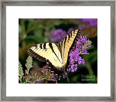 Butterfly Framed Print by Timothy Clinch