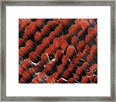 Butterfly Wing Scales Framed Print by Clouds Hill Imaging Ltd