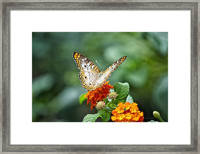 Butterfly Wings Of Sun 2 Framed Print by Thomas Woolworth