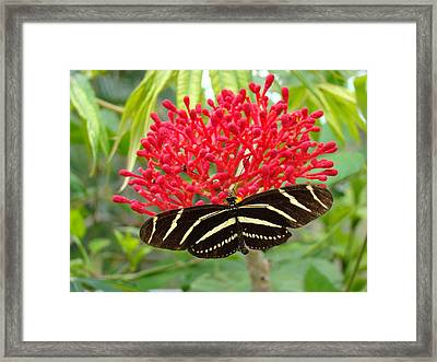 Butterfly With Its Host Framed Print