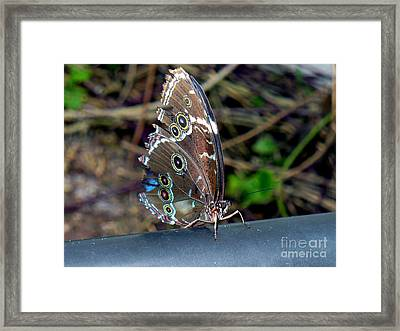 Butterfly5 Framed Print