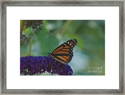 Butterflybush Framed Print by Christopher Mace
