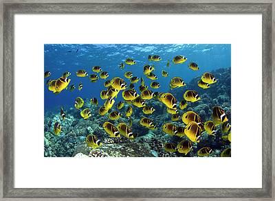 Butterflyfish Chaetodon Lunula, Hawaii Framed Print by Bopardau
