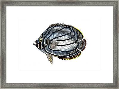Butterflyfish Framed Print by Collection Abecasis