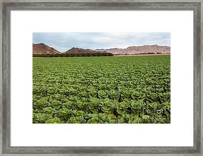 Butterhead Lettuce Farm Framed Print by Robert Bales