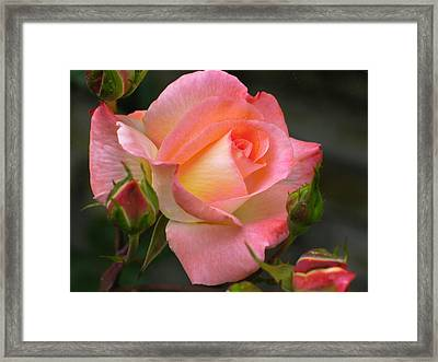 Buttermilk Pink Framed Print