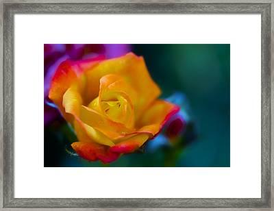 Butterscotch Rose Framed Print