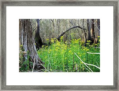 Butterweed Florida Wildflower Framed Print by Debra Forand