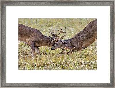 Butting Antlers Framed Print by Anthony Heflin