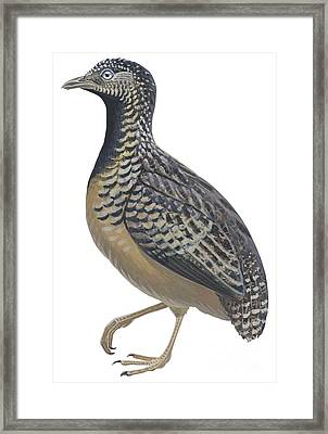 Button Quail Framed Print by Anonymous