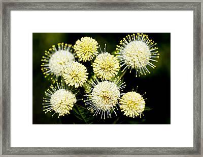 Buttonbush Framed Print