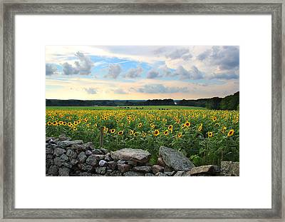 Buttonwood Farm Sunflowers Framed Print by Andrea Galiffi