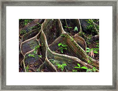 Buttress Roots Framed Print