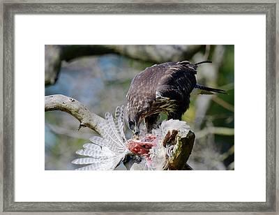 Buzzard Preying On A Bird Carcass Framed Print