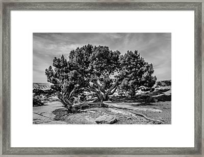 Bw Limber Pine Framed Print