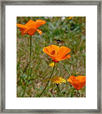 Ca Poppies And Bee  Framed Print by Gracia  Molloy