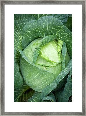Cabbage Brassica Oleracea Covered Framed Print
