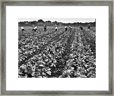 Framed Print featuring the photograph Cabbage Farming by Ricky L Jones