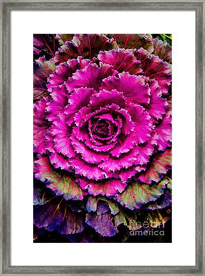 Cabbage Framed Print by Jon Burch Photography