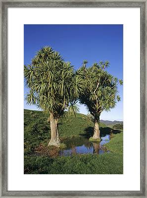 Cabbage Tree Pair New Zealand Framed Print by Tui De Roy