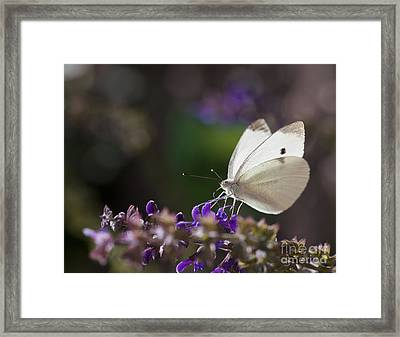 Cabbage White Butterfly Macro On Flowers Framed Print by Brandon Alms