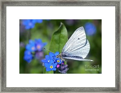 Cabbage White Butterfly On Forget-me-not Framed Print by Sharon Talson