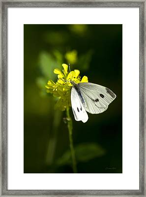 Cabbage White Butterfly On Yellow Flower Framed Print by Christina Rollo