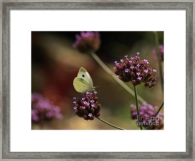 Cabbage White On Purpletop Vervain Framed Print by Anna Lisa Yoder