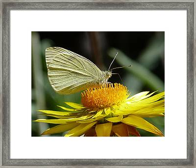 Cabbage White On Yellow Daisy Framed Print by Margaret Saheed