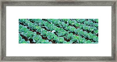 Cabbage, Yamhill Co, Oregon, Usa Framed Print