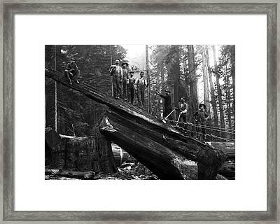 Cabling A Redwood Log C. 1890 Framed Print