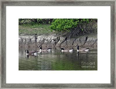 Cackling Geese 2 Framed Print