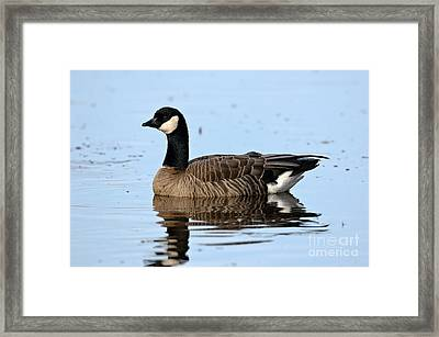 Cackling Goose In Water Framed Print
