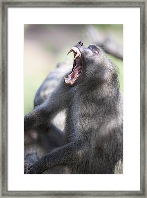 Cackma Baboon Yawning Framed Print by Sean McSweeney