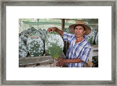 Cacti Farm For Cochineal Insects Framed Print