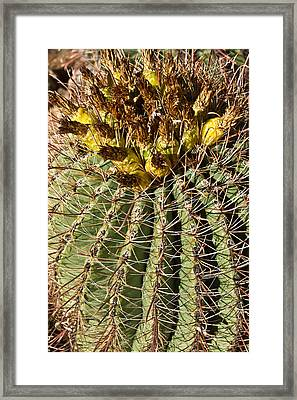 Cactus About To Bloom 1 Framed Print by Douglas Barnett