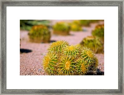 Cactus Framed Print by Amy Cicconi