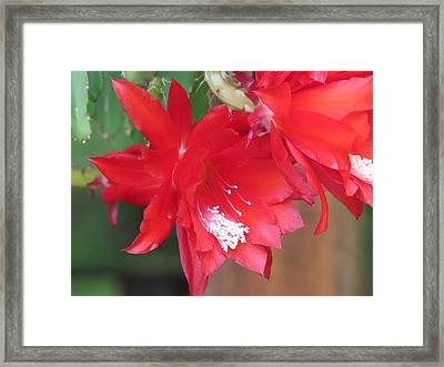 Cactus Blooming Framed Print by Diane Mitchell