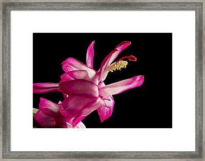 Cactus Blossom Framed Print by Mary Jo Allen