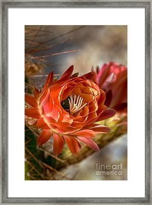 Cactus Bud Framed Print by Robert Bales