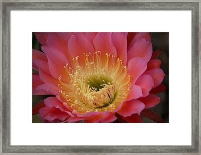 Cactus Flower Framed Print by Bonita Hensley
