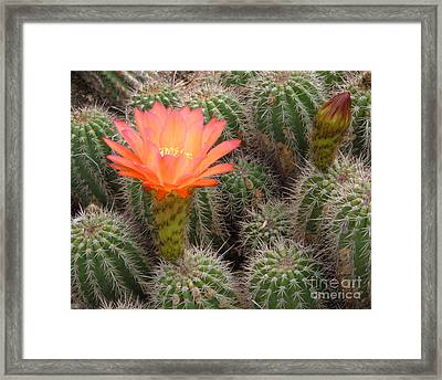 Framed Print featuring the photograph Cactus Flower by Cheryl Del Toro