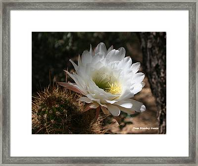 Cactus Flower Full Bloom Framed Print
