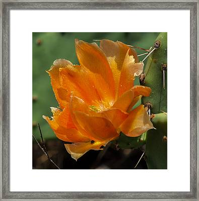 Cactus Flower In Orange Framed Print by Toma Caul