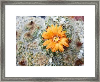 Cactus Flower Framed Print by Marina Oliveira