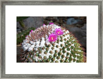 Cactus In Flower Framed Print by Jim West