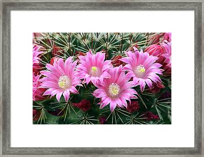 Cactus Mammillaria Zeilmanniana 'new Dawn' Framed Print by Nigel Downer/science Photo Library